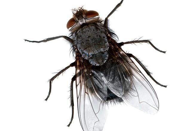 Chasser les mouches de votre maison naturellement for Attrape mouches maison