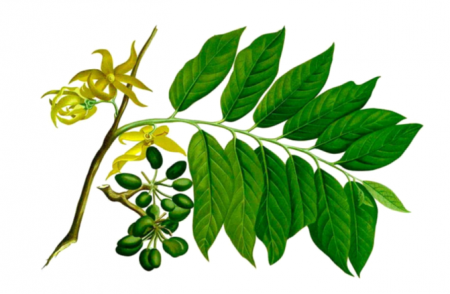 Huile essentielle ylang_ylang
