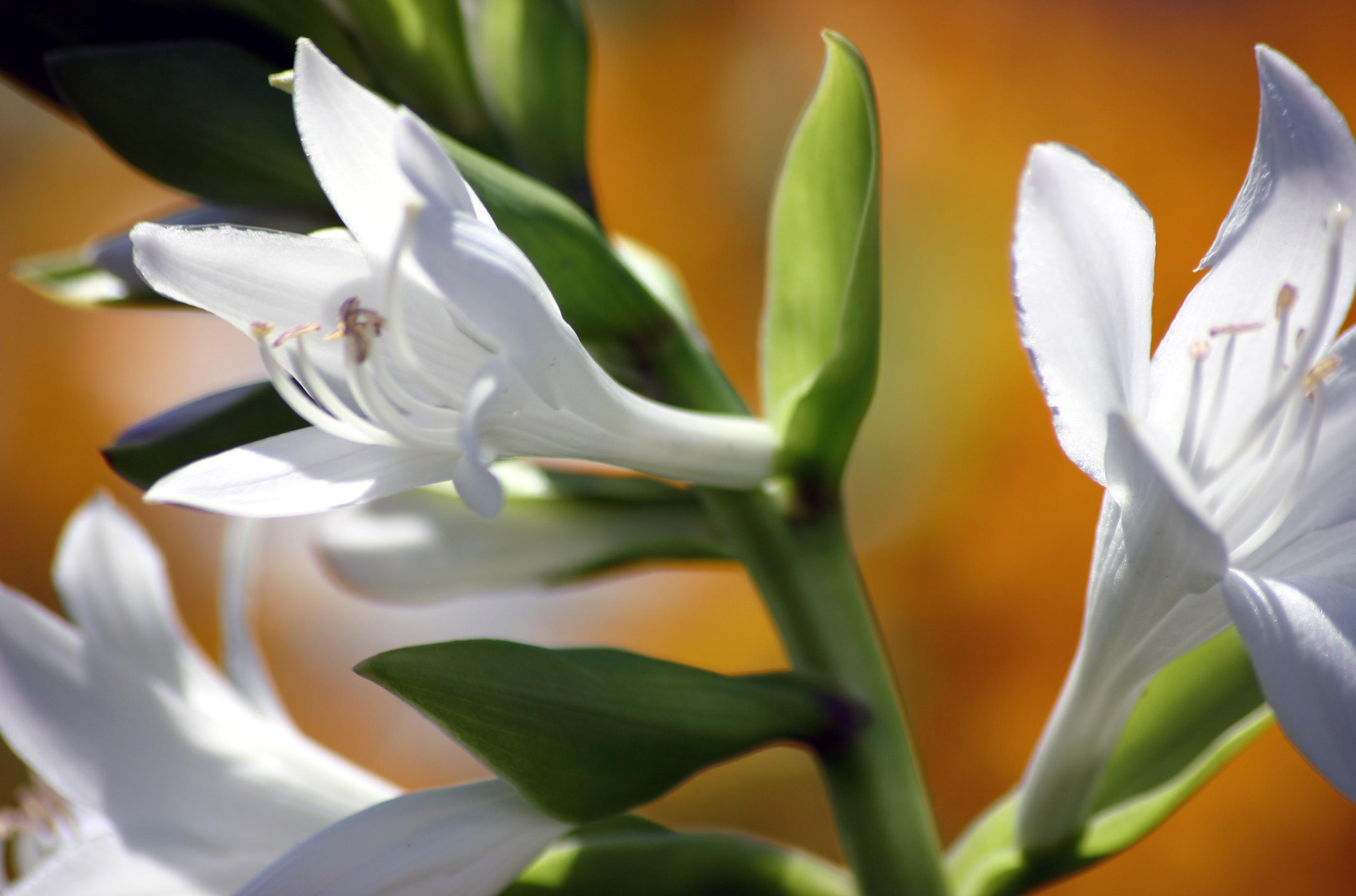 Hydrolat de fleurs d'oranger
