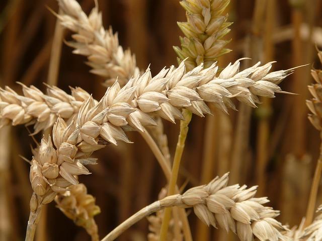 huile végétale germes de blé