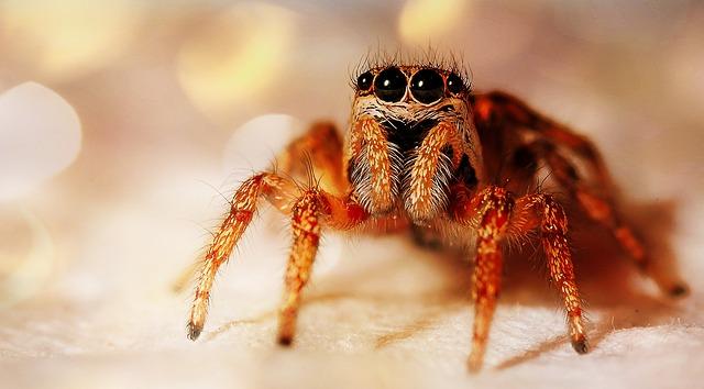 Repousser les araignée avec l'HE de lavande