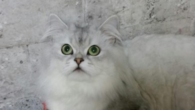 chats-huiles essentielles