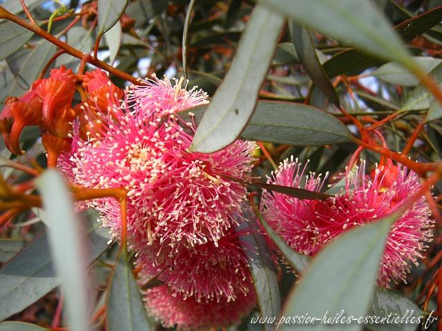fleurs d'eucalyptus radié