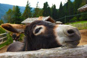 huiles essentielles élevage ânes mulets
