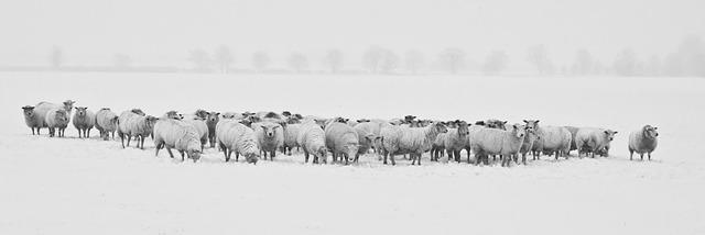 huiles essentielles moutons élevage